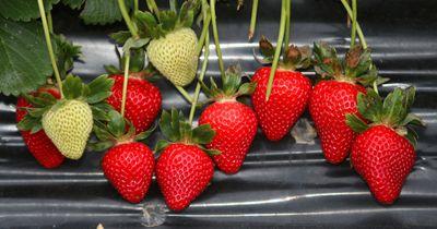 Wundermittel Erdbeere